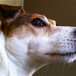 jack-the-dog