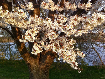 white-cherry-tree