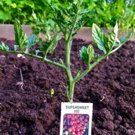 super-sweet-plant