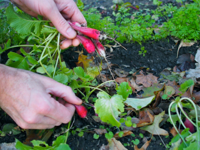 picking-radishes