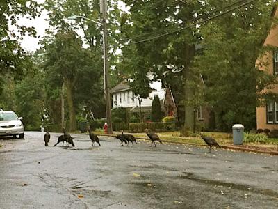 wild-turkeys-in-neighborhood