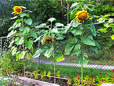 sunflowers-in-allotment