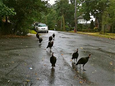 wild-turkeys-on-road