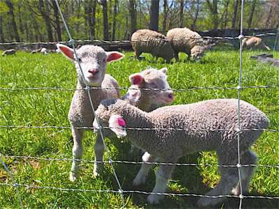 baby-lambs